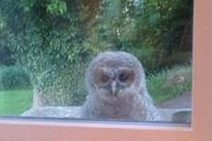 Baby tawny owl looking through the barn windows